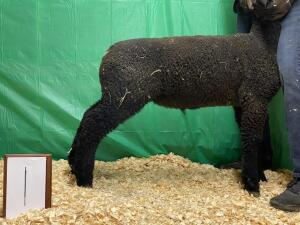 Mud Creek Farm Club Lamb Sale