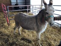 Breaking Donkey - Jenny, 5-6 years old, Gentle on calves, leads from the left most of the time