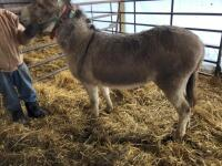 Breaking Donkey - Jenny, 5-6 years old, Gentle on calves, leads from the left most of the time - 3